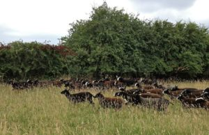 A Big Flock of Zwartbles
