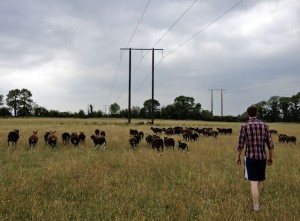 Pylons & Zwartbles With Owner Stephen