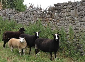 Beltex ewe With Zwartbles
