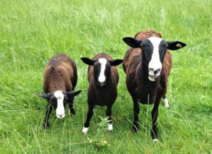 Zwartbles Hogget With Twins