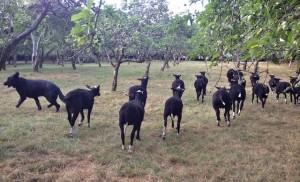 Ram Lambs Reunited