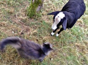 Mr. B Scolds an Escapee Lamb