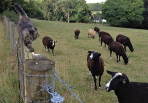 Mr. B Fascinates the Sheep Performing the Gate Walk
