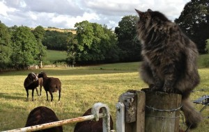 Watching His Sheep Have a Tiff About Who is Boss