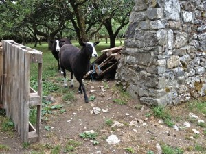 Ewes Coming Into Paddock to Help Nervous Ewe Through the Gap