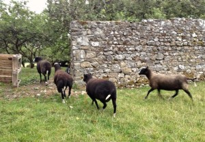 Nervous Ewe Trotting Rapidly After the Others Into the Orchard