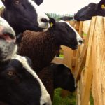 Zwartbles Ewes Anticipating the Start of Show Classes