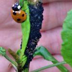 Lady Bug Landing on a Dock Leaf