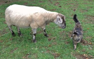 Mr. B Inspecting the White Ewe