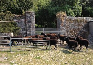 Trotting into the Pen Before the Sheep Race