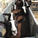 Ewe Lambs Foot-Bathing
