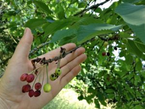 Unhealthy Cherries