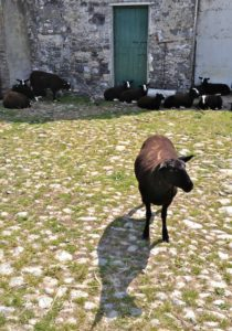 All Sheep but Aggee in the Shade