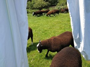 Ram Lambs Coming Through Clean Sheets