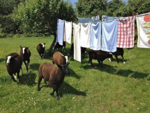 Ram Lambs Dancing Past the Laundry