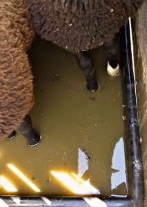 Hooves Well Covered in Water Solution