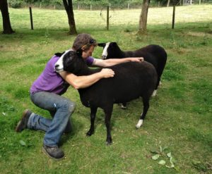 A Zwartbles Ewe Enjoying a Friendly Scratch
