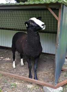 Someone Hears Strange Ewes Voices