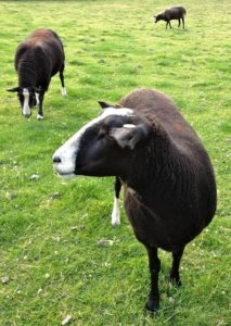 3 Ewes Guests for the Month