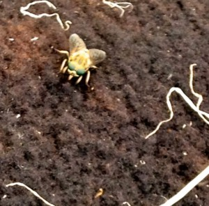 A Bot Fly
