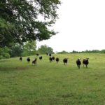 Ewes Galloping Towards Shady Field