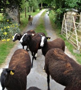 Bad Escaped Ewes Returning
