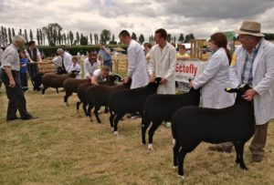 Zwartbles Ewe Lamb Class Being Judged