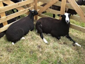 Relaxing Zwartbles Show Sheep