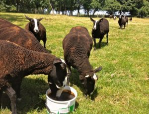 Fresh Mineral Lick for Ewes
