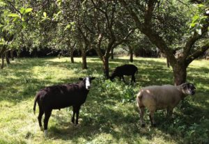 Ram's in the Orchard