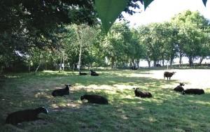Sheep as Shadow Followers