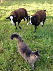 Bodacious With 2 Curious Ewe Lambs Following