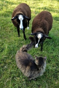 The Cat Shepherd Greeting His Sheep