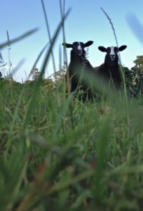 Ewe Lambs Coming Out to Feed