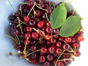 Fresh Picked Sun Warmed Cherries