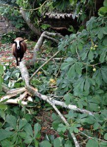 Ram Lamb Inspecting Broke Branch