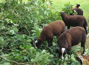 Lambs Enjoying Fresh Leaves