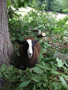 A Happy Lamb Found A Green Chestnut