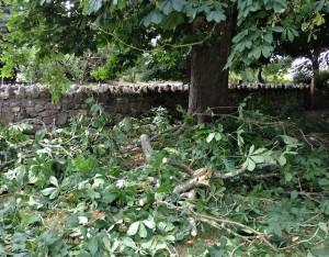 Fallen Chestnut Branch Chopped