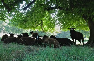 Zwartbles Lambs in the Shade