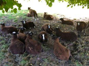 Ram Lambs Panting in the Shadows
