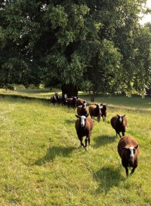 Ram Lambs Galloping Out to Greet Me