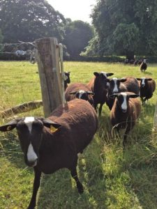 Zwartbles Ewes Coming Out the Gate