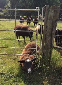 Clever Ewe Lamb Closing the Gate