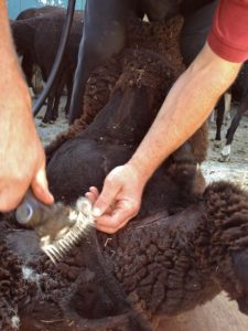 The White Tip of the Zwartbles Tail Getting Shorn