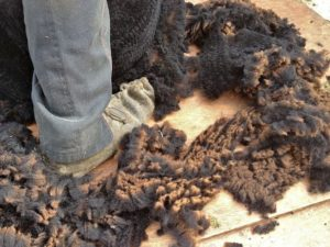 The Fleeces Falling Away Around the Shearing Moccasin