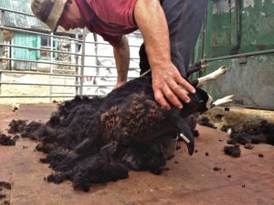 Miss Alice Capone Getting Her Back Shorn