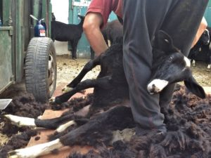 Last Few Shearing Strokes Down Alice Capone