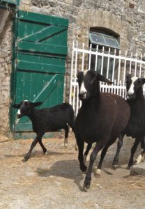 Wagtail & Alice Capone Leading the Race Out of the Yard