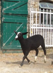 A Shorn Zwartbles Ewe Lamb Straggler Leaving the Yard